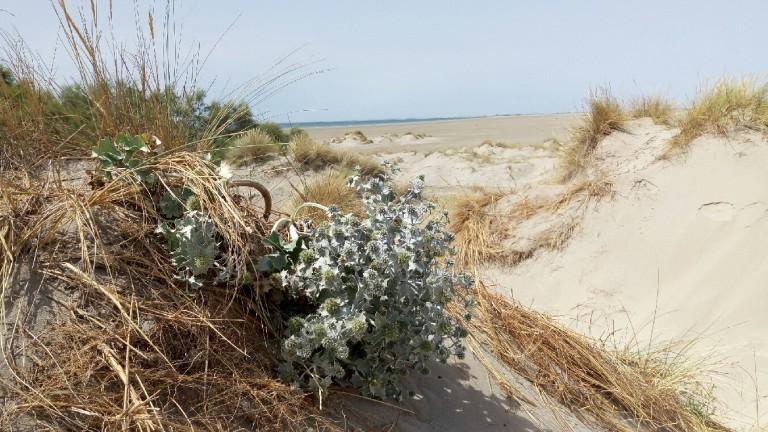 chardon bleu des dunes CRiedel